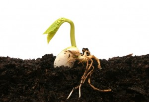 Germinating bean seed