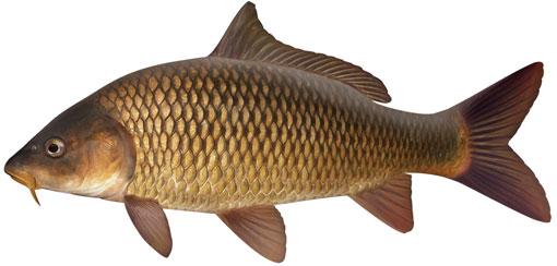 5 Hardest Freshwater Fish To Fillet Nwoaa